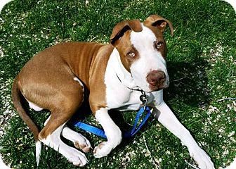 American Pit Bull Terrier Puppy for adoption in Rancho Cucamonga, California - Leroy