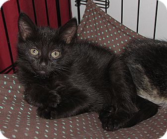 Domestic Shorthair Kitten for adoption in Gainesville, Virginia - Tatia
