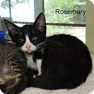Domestic Shorthair Kitten for adoption in Slidell, Louisiana - Rosemary