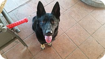 German Shepherd Dog Dog for adoption in Peoria, Arizona - Abby