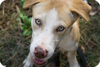 Shepherd (Unknown Type) Mix Dog for adoption in Reidsville, North Carolina - Stanley