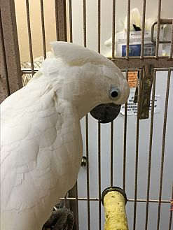 Cockatoo for adoption in Punta Gorda, Florida - Buddy