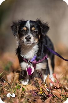 Papillon/Chihuahua Mix Puppy for adoption in Astoria, New York - Peanut