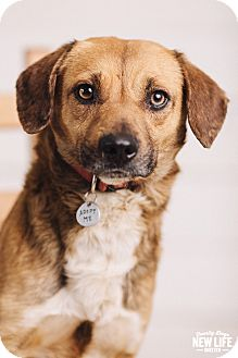 German Shepherd Dog/Beagle Mix Dog for adoption in Portland, Oregon - Charlie