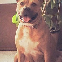 Staffordshire Bull Terrier/Shar Pei Mix Dog for adoption in Lakewood, Colorado - Trina