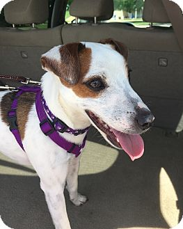 Jack Russell Terrier Dog for adoption in San Antonio, Texas - Jet in Seguin
