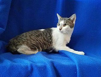 Domestic Shorthair Cat for adoption in Sheridan, Illinois - Tim