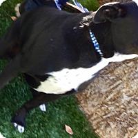 Adopt A Pet :: Cleo - Phoenix, AZ