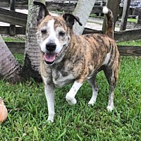 Catahoula Leopard Dog Mix Dog for adoption in Davie, Florida - Gentry
