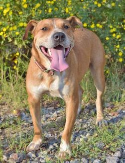 Boxer/American Staffordshire Terrier Mix Dog for adoption in Helena, Alabama - Tyler
