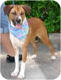Boxer Mix Dog for adoption in Kingwood, Texas - Hailey