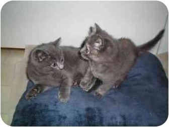 Russian Blue Kitten for adoption in Randolph, New Jersey - Ethel