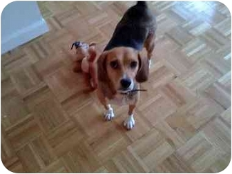 Beagle Dog for adoption in Long Beach, New York - Lady