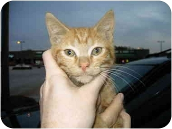 Domestic Shorthair Kitten for adoption in Lyman, South Carolina - Slice
