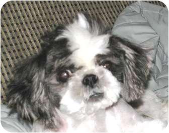 Shih Tzu Dog for adoption in Winnetka, California - DEXTER