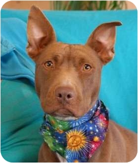 Pit Bull Terrier Mix Dog for adoption in Las Vegas, Nevada - Mystic