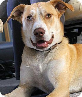 Labrador Retriever/Husky Mix Dog for adoption in El Segundo, California - Lolly