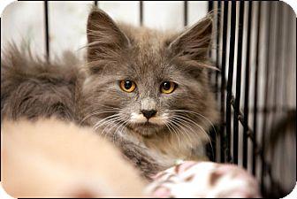Domestic Longhair Kitten for adoption in Colville, Washington - Tuffy