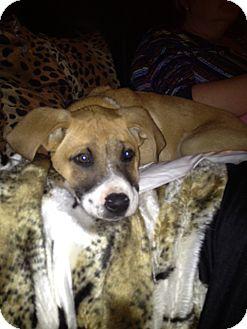 St. Bernard/Boxer Mix Puppy for adoption in Bellflower, California - Zeke