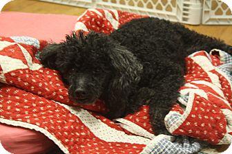 Poodle (Miniature) Mix Dog for adoption in Homewood, Alabama - Princess