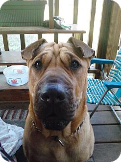 Shar Pei Mix Puppy for adoption in Apple Valley, California - Buttercup in Florida