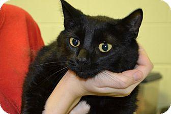 Domestic Shorthair Cat for adoption in Elyria, Ohio - Charlotte