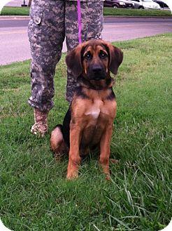 Bloodhound/German Shepherd Dog Mix Puppy for adoption in Fort Riley, Kansas - Dumbo