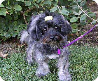 Yorkie, Yorkshire Terrier/Poodle (Miniature) Mix Dog for adoption in Newport Beach, California - GALE