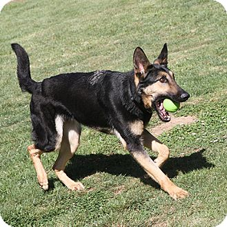 German Shepherd Dog Mix Dog for adoption in Sacramento, California - Dexter!
