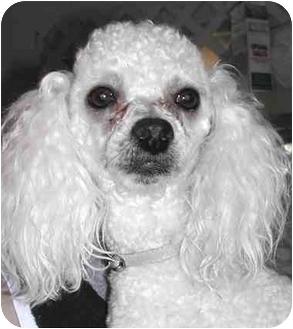 Poodle (Miniature) Dog for adoption in El Segundo, California - Pierre