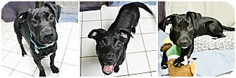 Labrador Retriever Mix Dog for adoption in Forked River, New Jersey - Yingling
