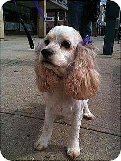 Cocker Spaniel Dog for adoption in Flushing, New York - Lindsey