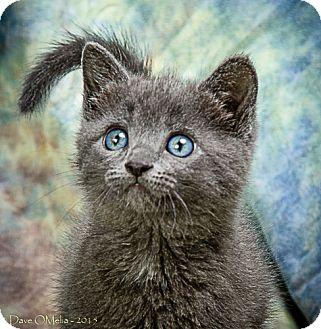 Domestic Shorthair Kitten for adoption in Anna, Illinois - GARNET