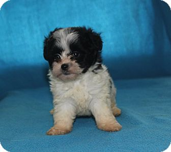 Pomeranian/Pekingese Mix Puppy for adoption in Colonial Heights, Virginia - Raj