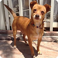Dachshund/Rat Terrier Mix Dog for adoption in Santa Ana, California - Remus