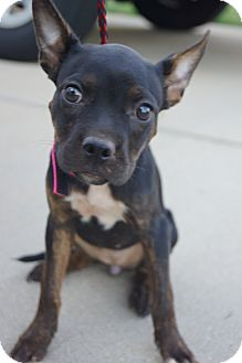 Boston Terrier Mix Puppy for adoption in Newark, Delaware - Gilly