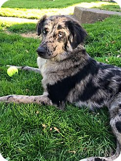 Australian Shepherd/German Shepherd Dog Mix Dog for adoption in Pottstown, Pennsylvania - Doug