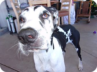 Great Dane Dog for adoption in Arenas Valley, New Mexico - Marley