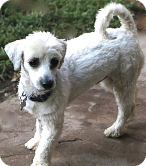 Maltese/Havanese Mix Dog for adoption in Woonsocket, Rhode Island - Chilton - MEET ME