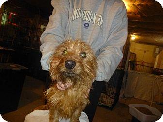 Shih Tzu Mix Puppy for adoption in Glastonbury, Connecticut - Garrison