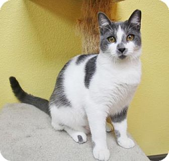 Domestic Shorthair Cat for adoption in Benbrook, Texas - Bernie