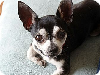 Chihuahua Dog for adoption in Hermitage, Tennessee - LB