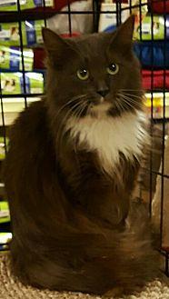 Maine Coon Kitten for adoption in Lyons, Illinois - Athena