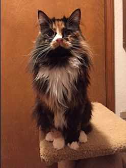 Domestic Mediumhair Cat for adoption in Brea, California - AUDREY