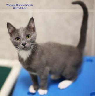 Domestic Shorthair/Domestic Shorthair Mix Cat for adoption in Boone, North Carolina - Benvolio