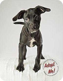 Labrador Retriever/Mixed Breed (Medium) Mix Puppy for adoption in Gillsville, Georgia - Nappie
