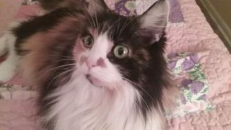Domestic Longhair/Domestic Shorthair Mix Cat for adoption in Fort Lupton, Colorado - Jada