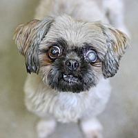 Adopt A Pet :: Chata - Canoga Park, CA