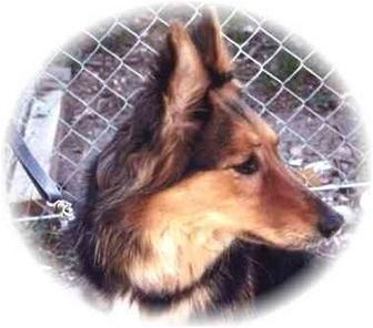 Collie/German Shepherd Dog Mix Dog for adoption in Baldwin, New York - Lady Greir