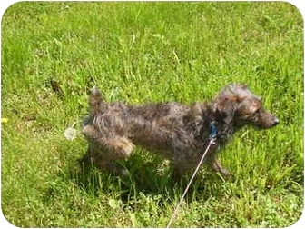 Yorkie, Yorkshire Terrier/Terrier (Unknown Type, Small) Mix Dog for adoption in Osseo, Minnesota - Tucker